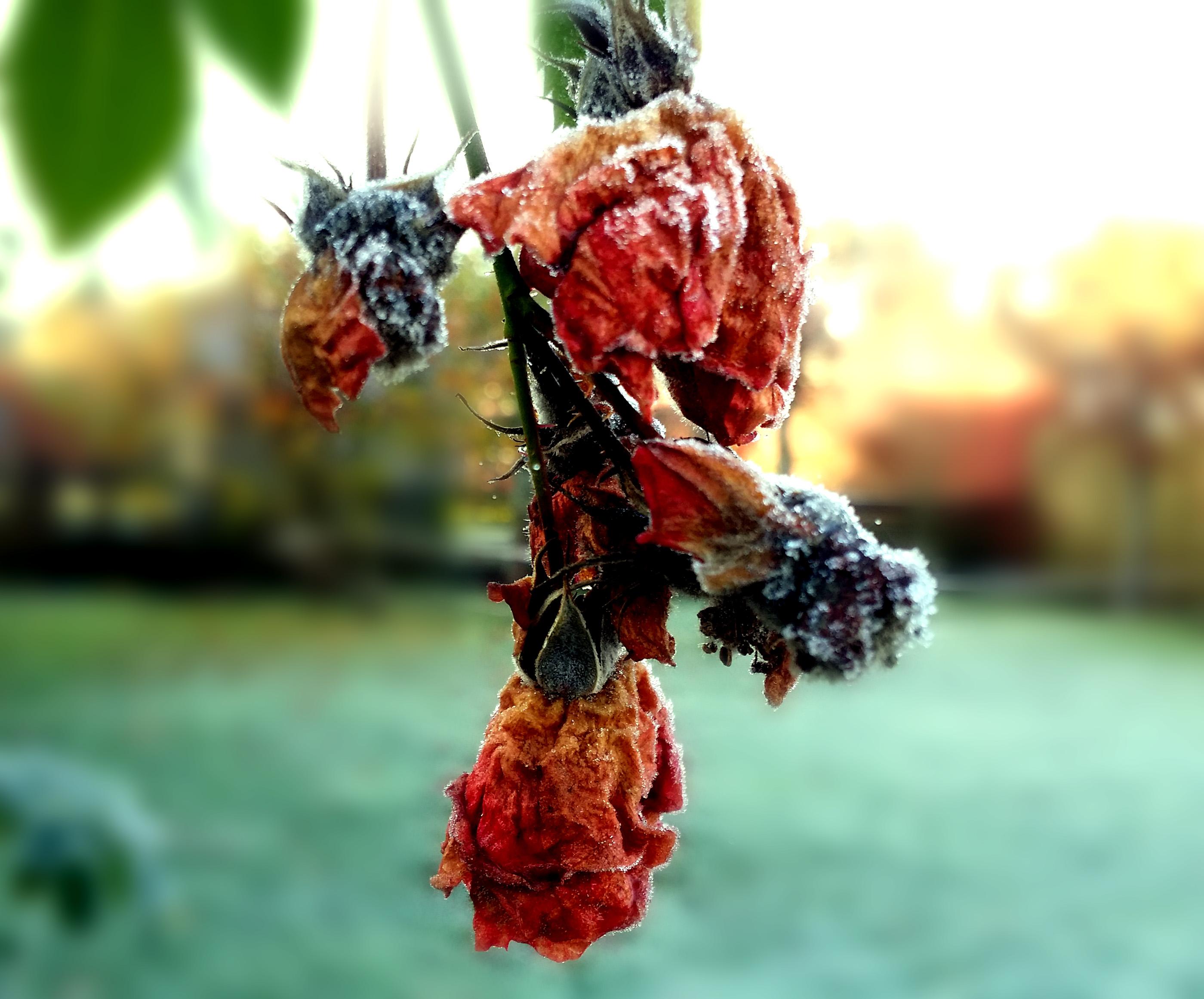 Frusen ros